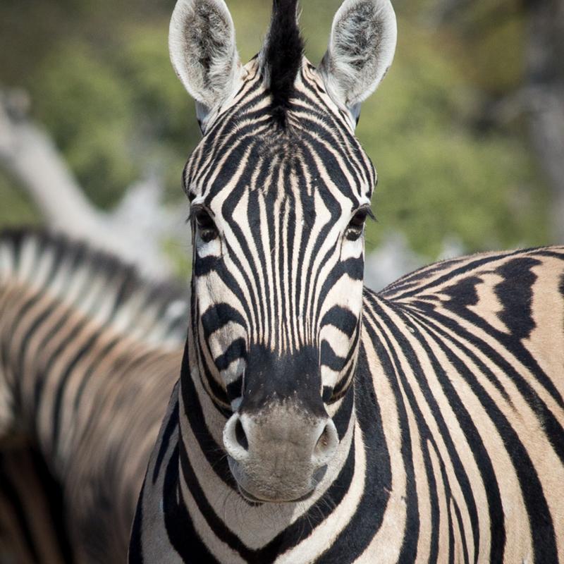 Scaled zebra portrait 800px width 6841